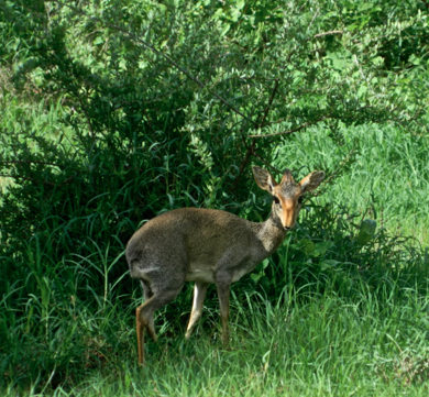 A dik-dik that frequents our backyard