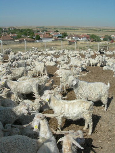 Goats4197