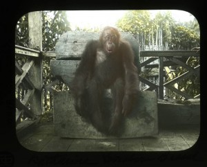 This hand painted lantern slide shows an orangutan in Dutch west Borneo, taken during the Furness, Harrison, and Hiller Expedition to Broneo in 1896. (Museum Image No. 216299)