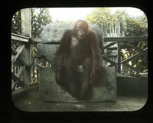 Orangutan on the porch. Photograph by Alfred C. Harrison, Jr.; hand-colored by Katharine Gordon Breed. Penn Museum image 216299