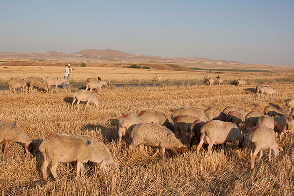 sheep feeding on harvested cereal ; behind the shepherd is Gordion's Citadel Mound, farther behind is another village