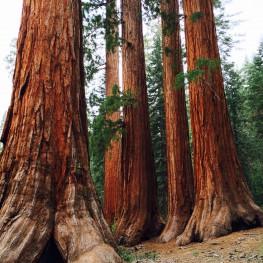Sequoias at Yosemite