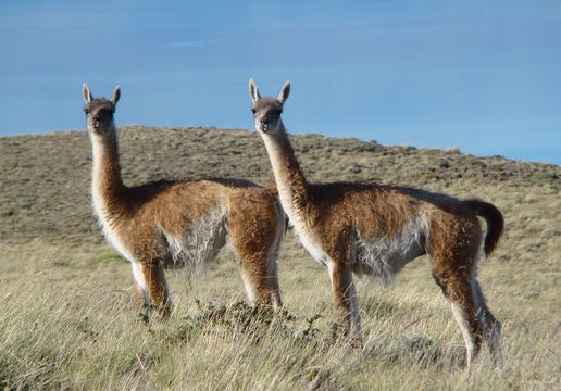 Vicuñas, wild cousins of the domesticated llama and alpaca.