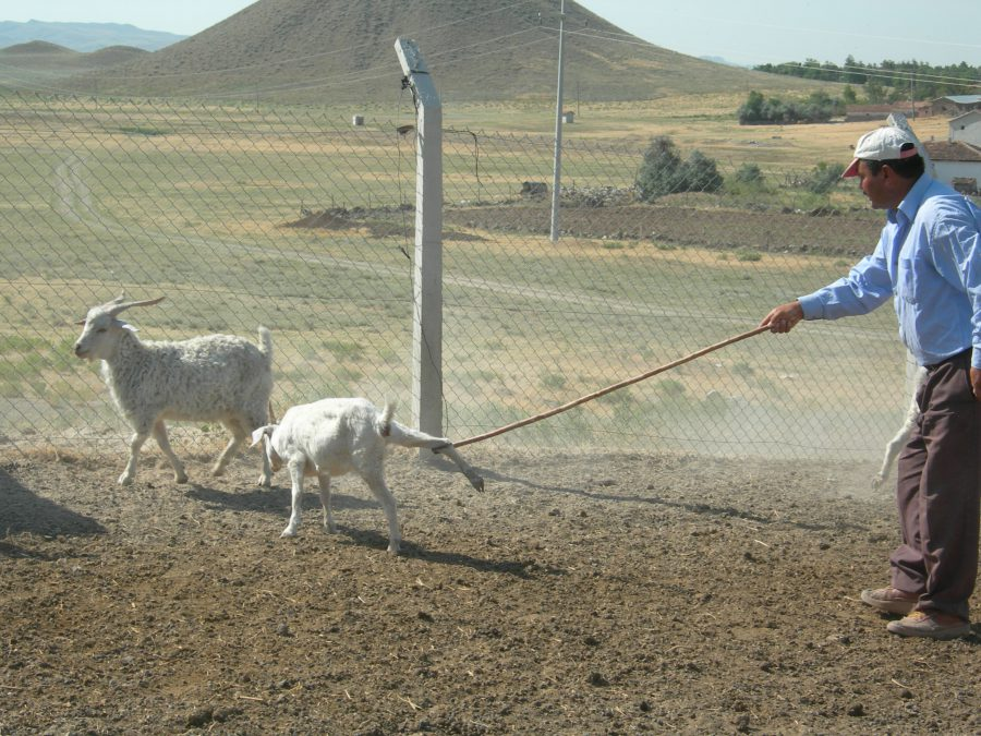 Metin catches a goat, with Tumulus MM 'Midas Mound' of Gordion in the background