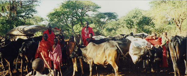 Cattle enclosure inside a Maasai settlement. Photo: Kathleen Ryan.