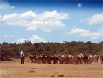 A cattle herd at Mpala in 2006 helped one of our Kenyan colleagues with the total station survey. Photo credit: M. Muia