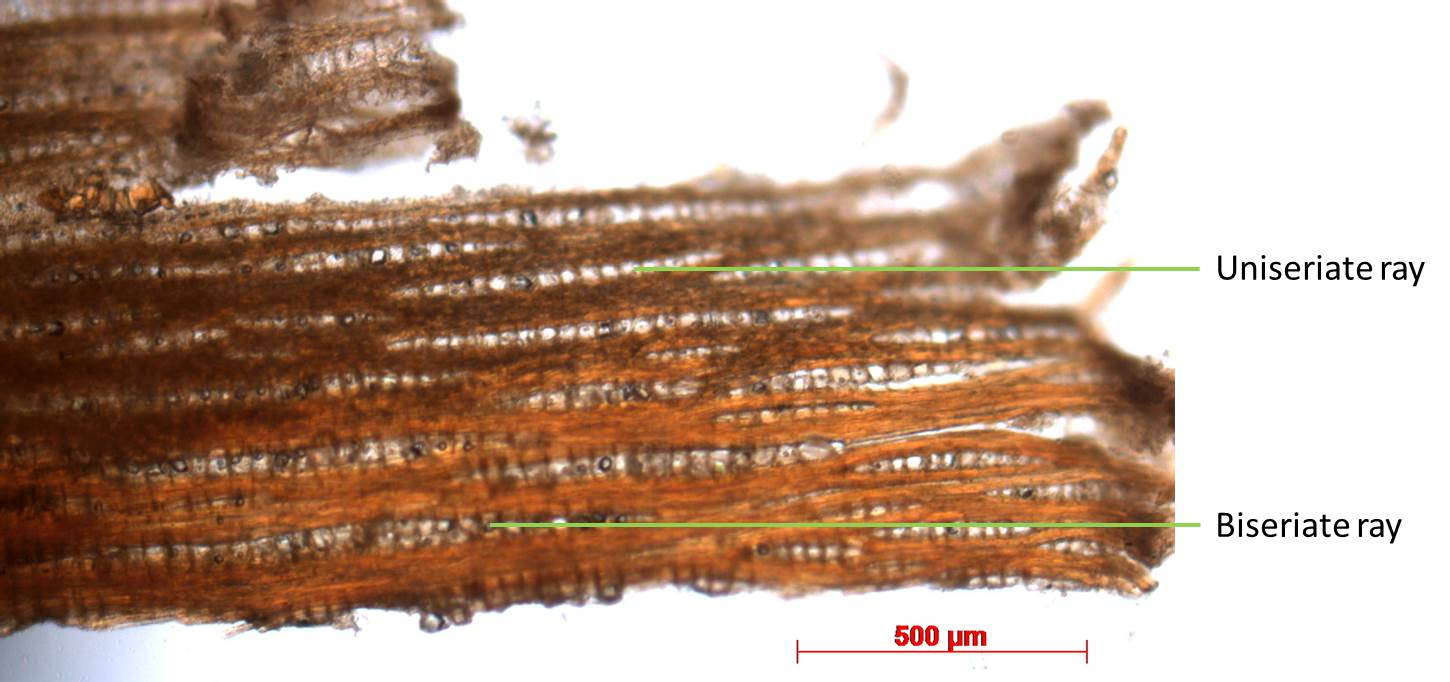 Tangential section, 50X magnification