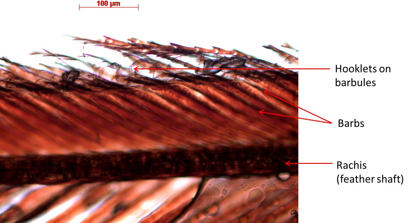 Ibis feather 100X magnification.
