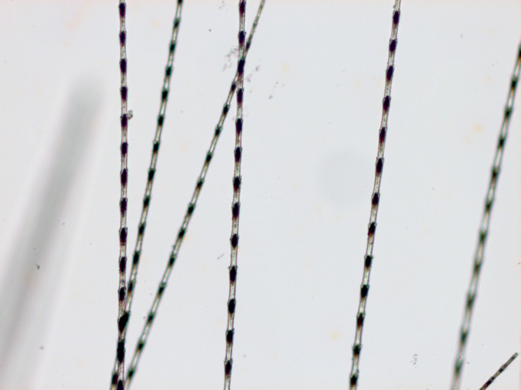 Barbules of one feather found with Nespekashuti, 200x magnification.