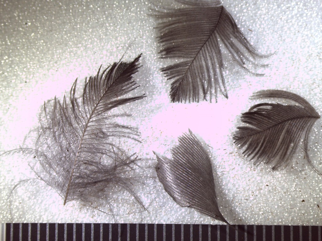 Feathers found with  Nespekashuti, 7.5X magnification