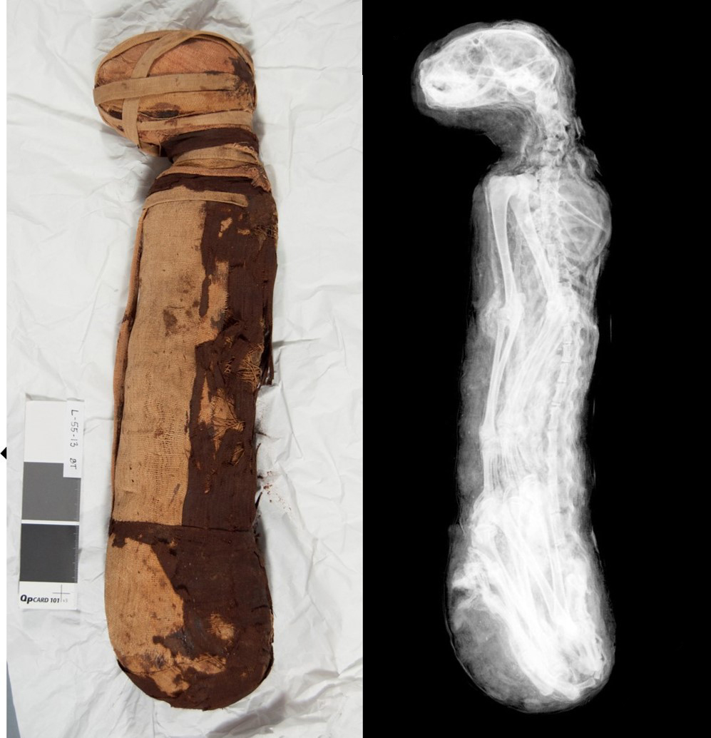 Cat mummy (left) and x-ray image (right) showing a complete cat body inside.