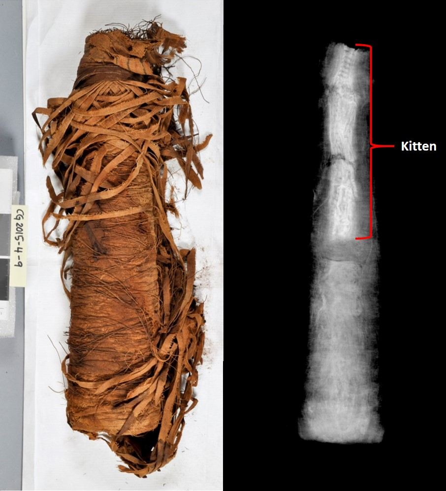 The radiograph shows that there is only a tiny kitten under the wrappings of this cat mummy.