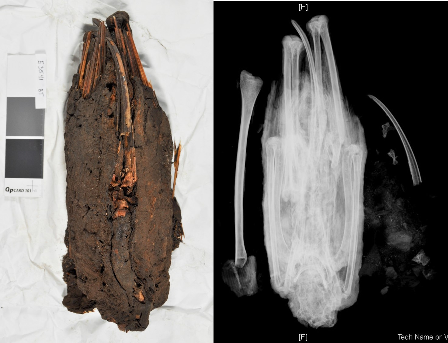 Mummy (left) and radiograph (right) showing an ibis inside, plus an extra bone and part of the ibis beak.