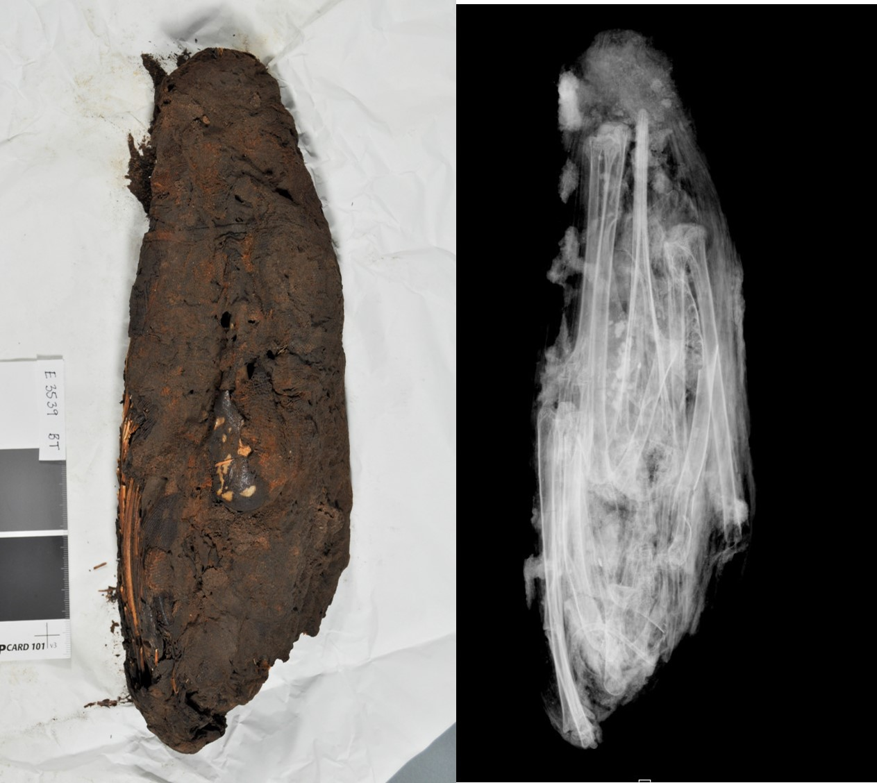 Mummy (left) and radiograph (right) showing an ibis inside.