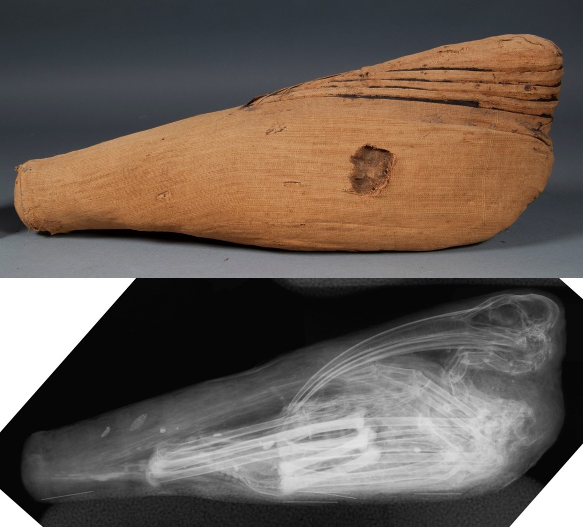 E12438: mummy from the side, paired with radiograph