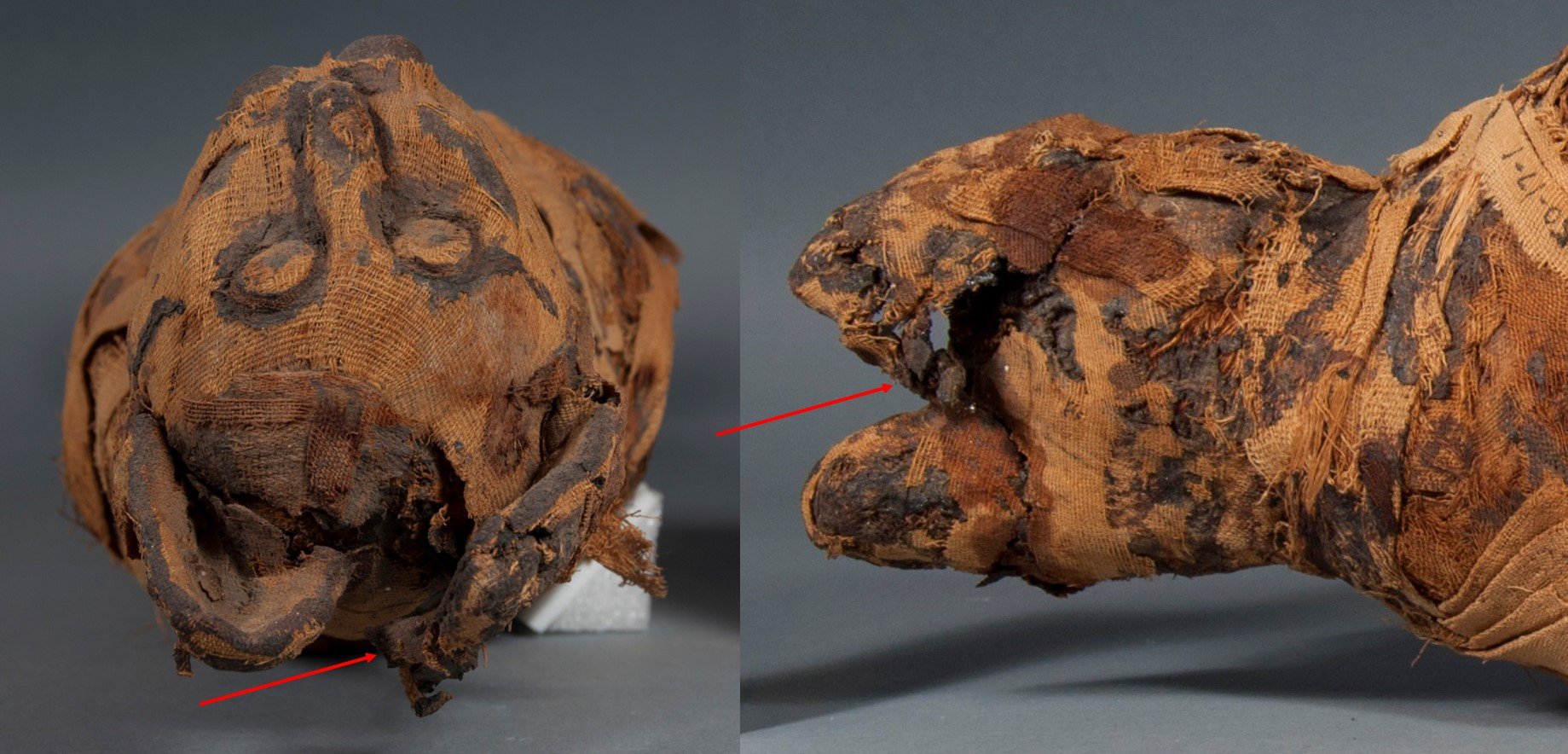 Two views of the cat mummy's head, with red arrows pointing to the mangled ear