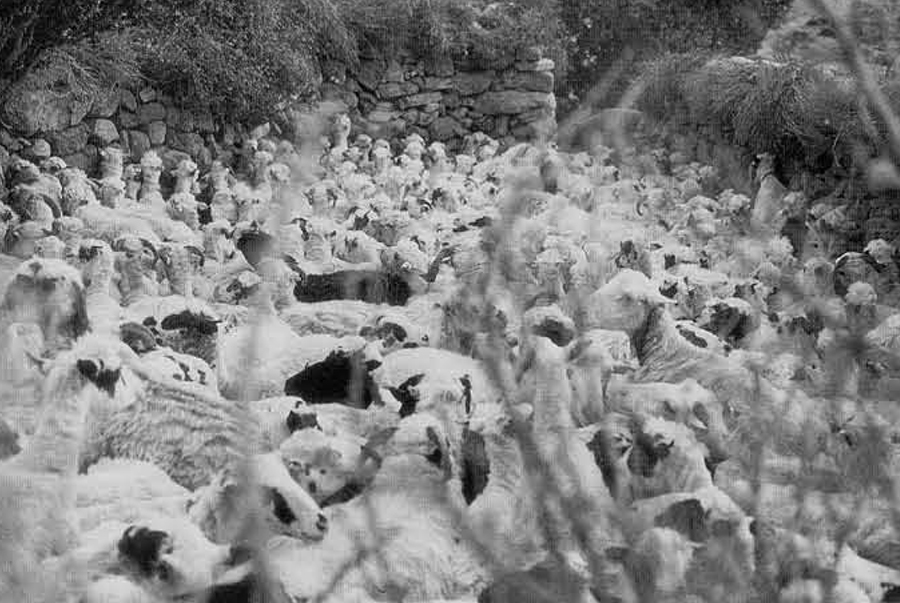 Figure 7. Sheep in the holding pen before the milking begins.