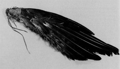 eagle_wing_fans