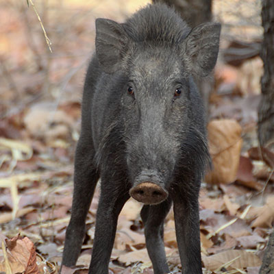 expedition magazine the evolution of pigs
