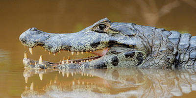 A caiman in the water with its mouth open