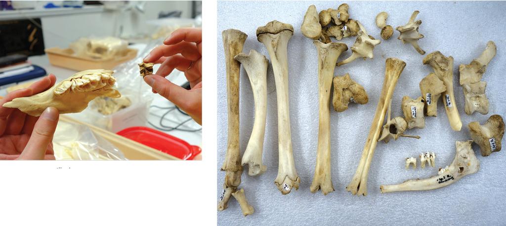 A deer skeleton